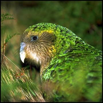 Le kakapo Medium10