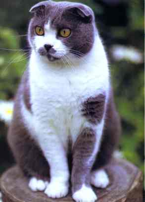 Le scottish fold Scotti10