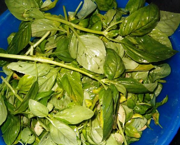 1 ière récolte de basilic. 1_iere10