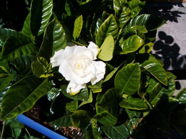 Azalée blanche qui ne fleuri pas Azalee11