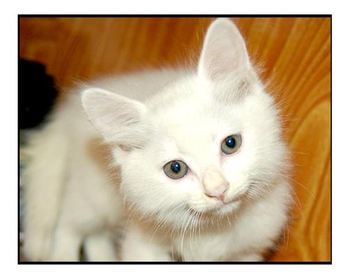 hình ảnh mèo con dễ thương Meocon10