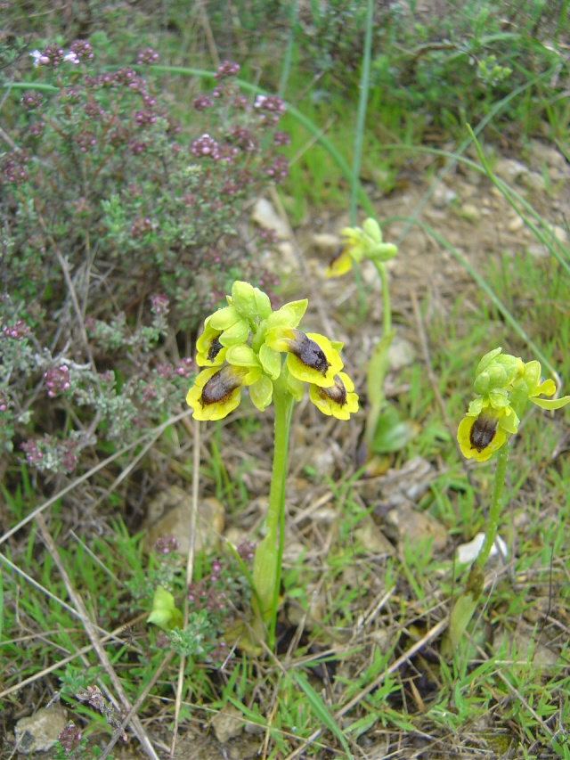 Ophrys lutea ( Ophrys jaune ) Rando_24