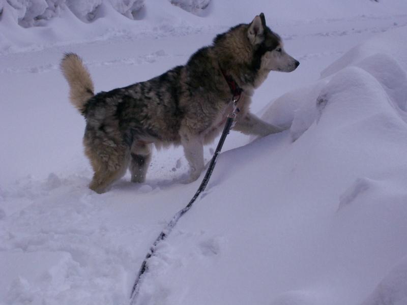 DIABOLO - mâle husky environ 7 ans - malade - Page 4 100_0319