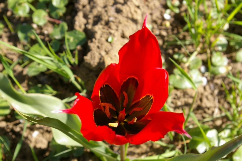 Tulipa, les quatre espèces sauvages française Tulipa11
