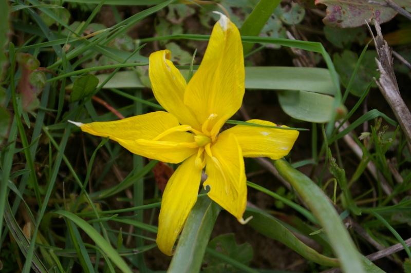 Tulipa, les quatre espèces sauvages française Tulipa16