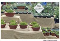 Scleranthus uniflorus 2007-m11