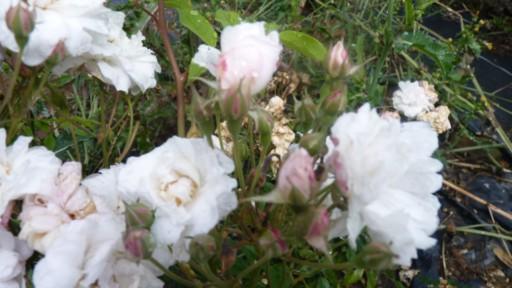 les roses du jardin - Page 2 Bluch_10