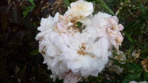 les roses du jardin - Page 2 Bluch_11