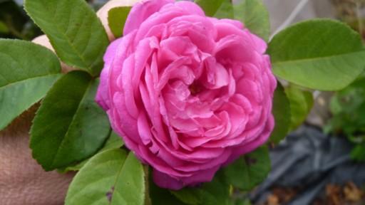 les roses du jardin - Page 2 Chardo10
