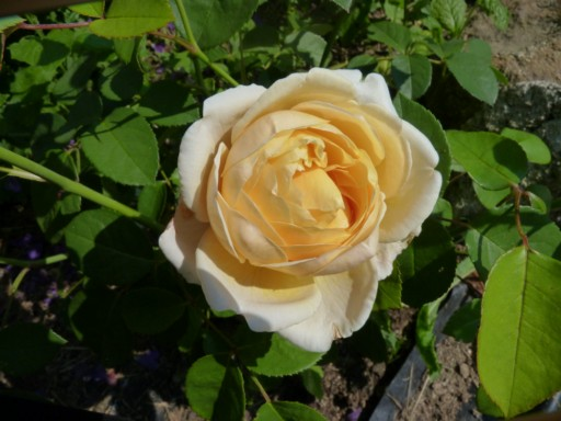 les roses du jardin - Page 2 Charlo10