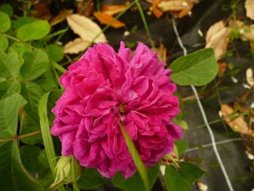 les roses du jardin - Page 2 Fleurs37