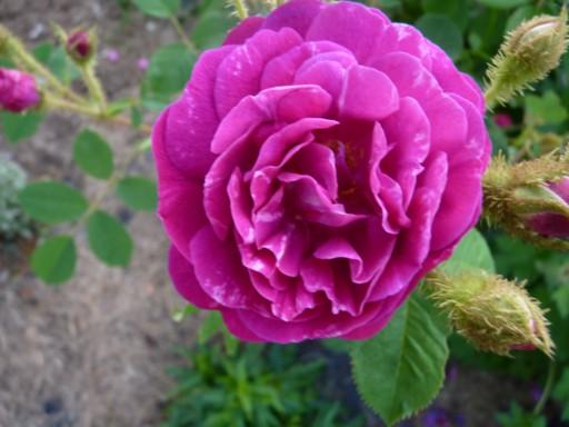 les roses du jardin - Page 2 Fleurs38