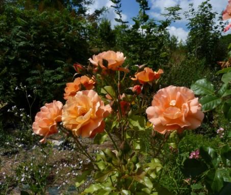 les roses du jardin - Page 2 Fleurs39