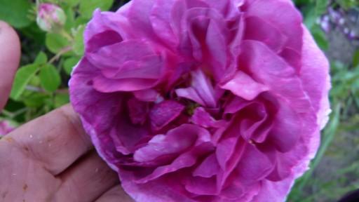 les roses du jardin - Page 2 Le_jar68