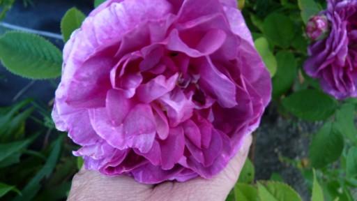 les roses du jardin - Page 2 Le_jar69