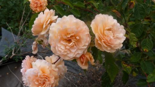 les roses du jardin - Page 2 Le_jar72