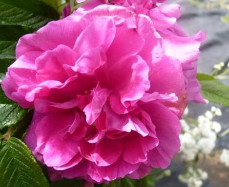les roses du jardin - Page 2 Le_jar73
