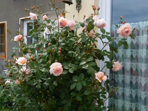 les roses du jardin - Page 2 P1000010