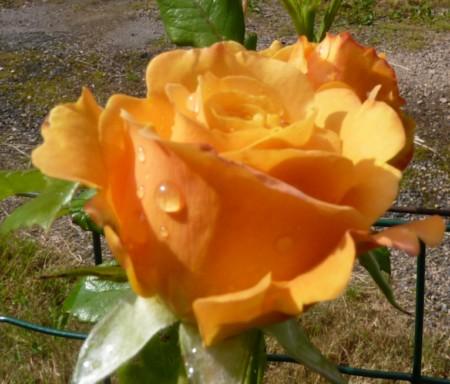 les roses du jardin - Page 2 P1000210