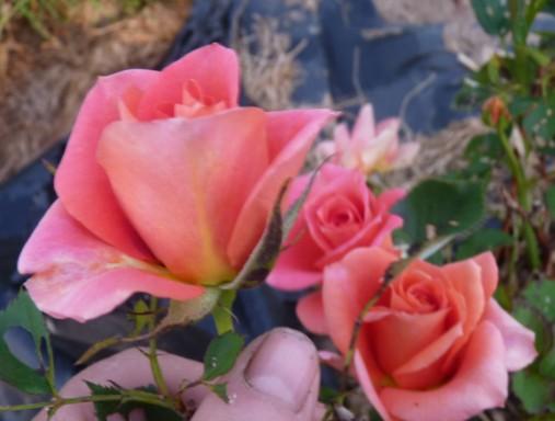 les roses du jardin - Page 2 P1020132
