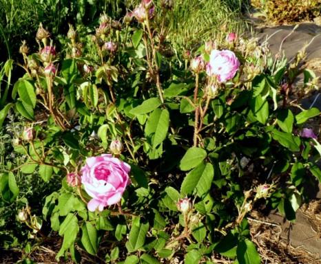 les roses du jardin - Page 2 P1020133