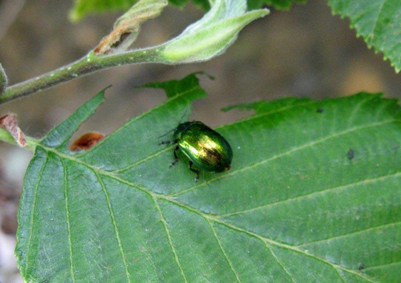Tvrdokrilci ( Coleoptera ) Tvrdok10