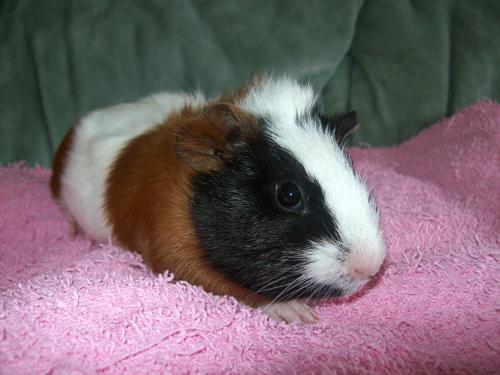 Guinea Pigs Ginger11