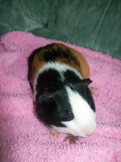 Guinea Pigs Spice11