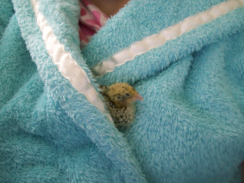 Serama sleeping This_o10