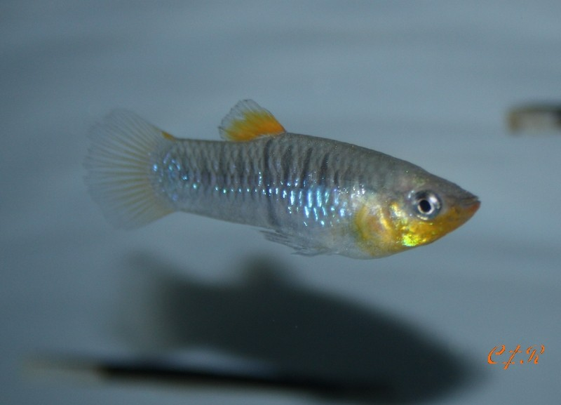 Limia dominicensis Img_6210
