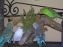 Les comportements naturels des perruches Dscn0010