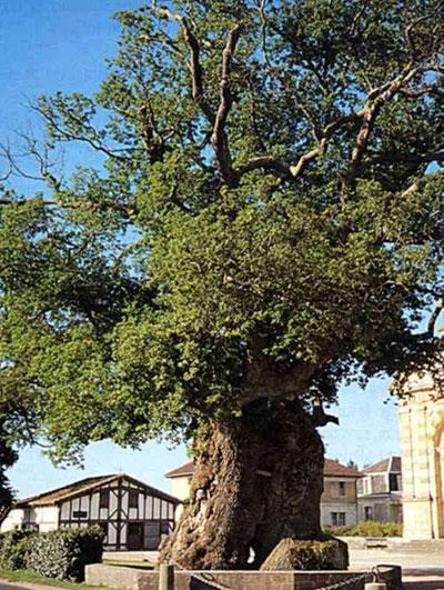 arbres du sud Chene_15