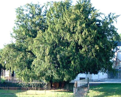 arbres du sud If_vig10