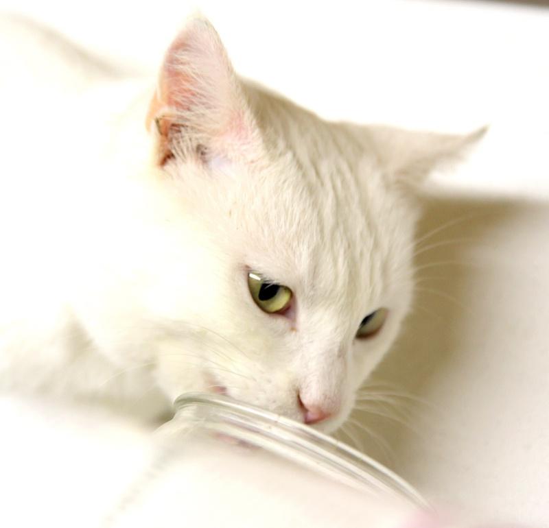 Havvo, junior de 7/8 mois, tout blanc aux yeux verts ... (Association Les Amis de néo)  511