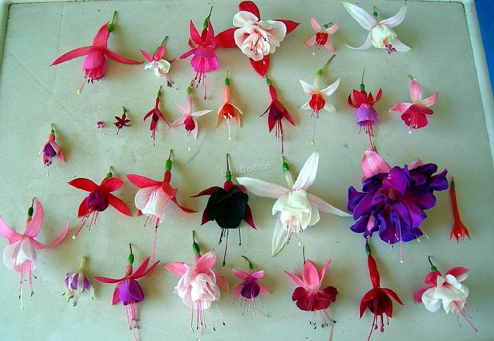 Nuestras fucsias Flores10