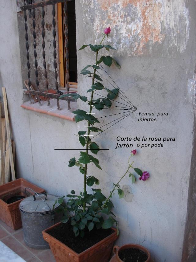 las rosas de mi jardin - Página 2 Rosaav12