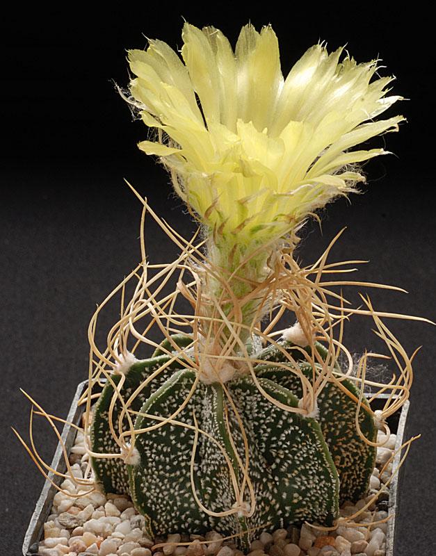 Astrophytum x capricorne cv. 'crassispinoides' Dsc_0023