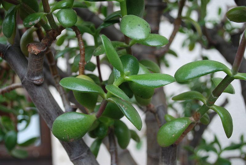 Crassula ovata Dsc_0220