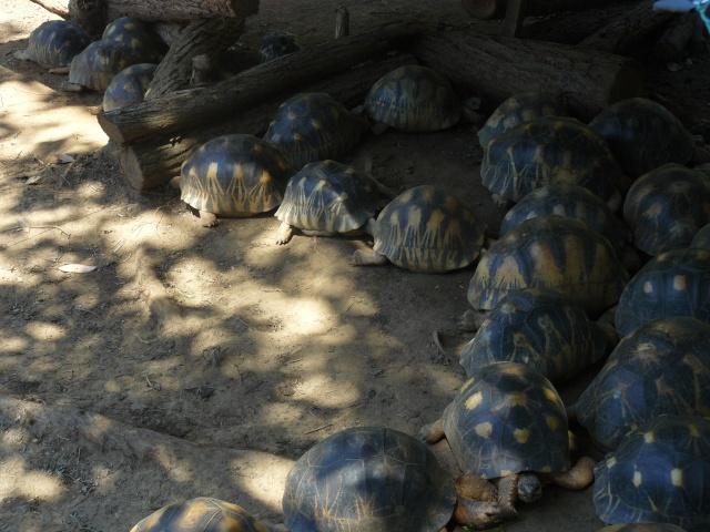 "Parc "" IVOLOINA ""  Madagascar P1010116"