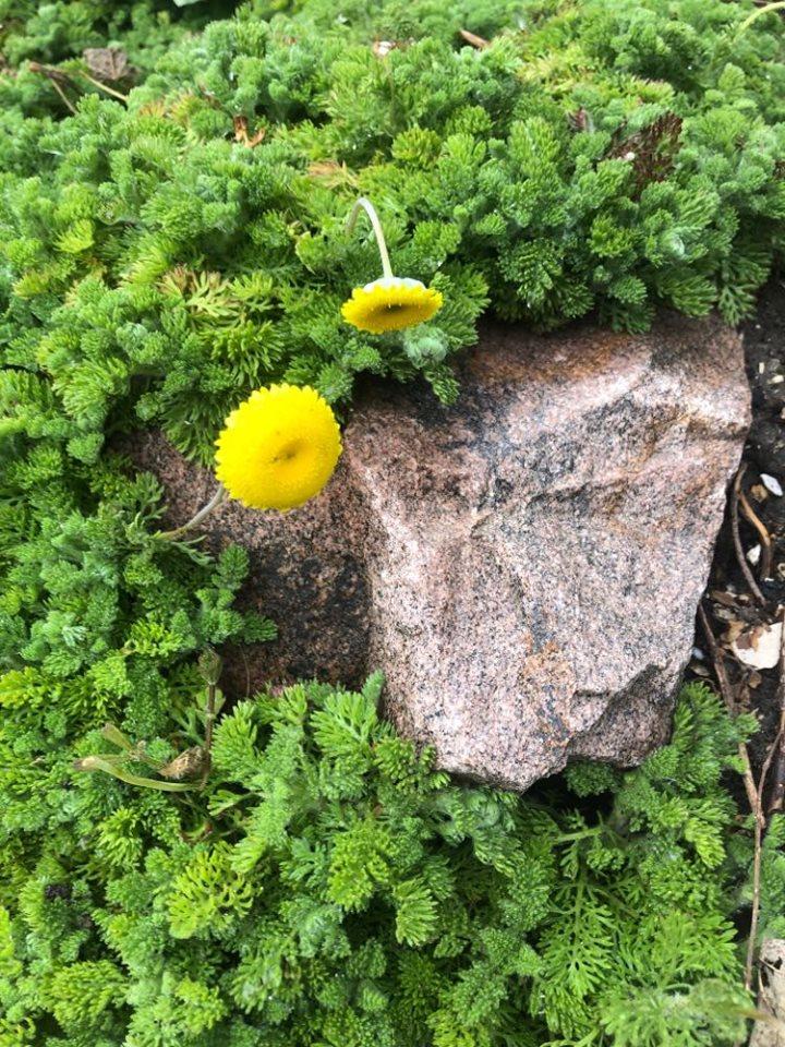 Connaissez vous cette plante vivace ??? 92298710