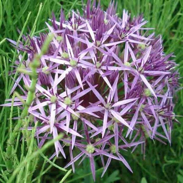Allium christophii Allium10
