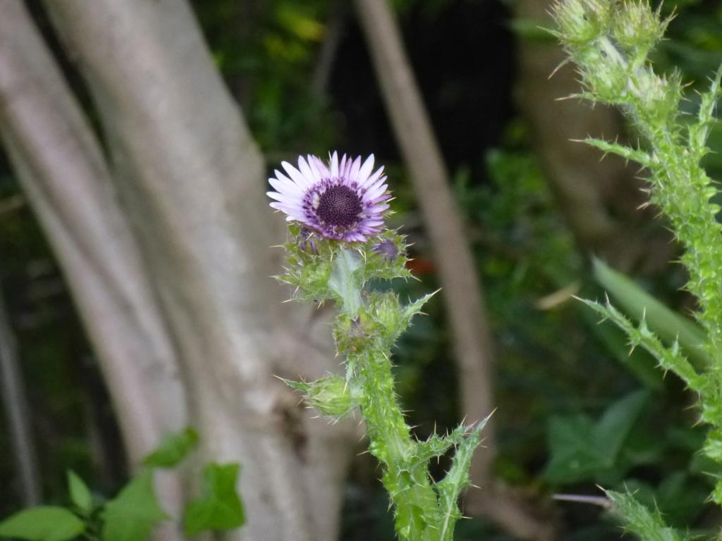 Berkhoya purpurea  P1270710
