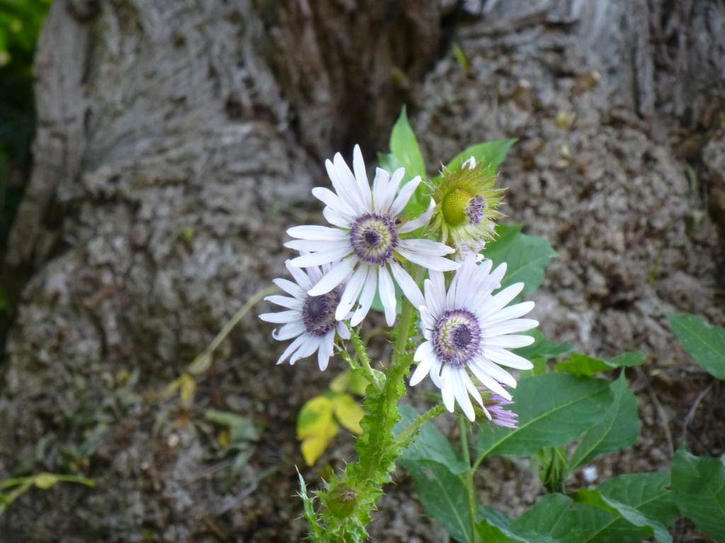 Berkhoya purpurea  P1270711