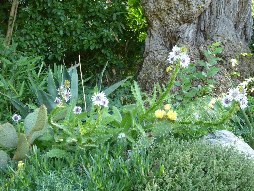 Berkhoya purpurea  P1270712