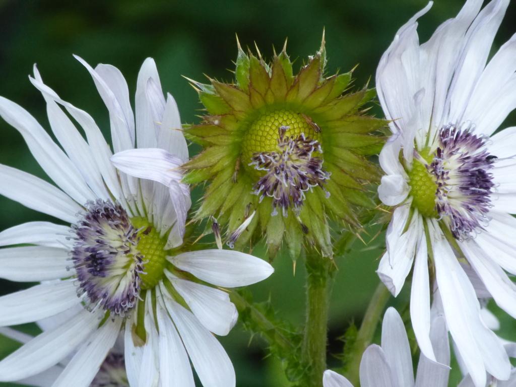 Berkhoya purpurea  P1270713
