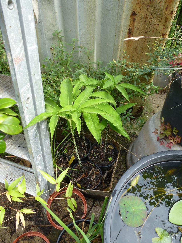 Dracunculus vulgaris  P1270718