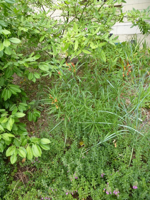 Lobelia laxiflora P1270822