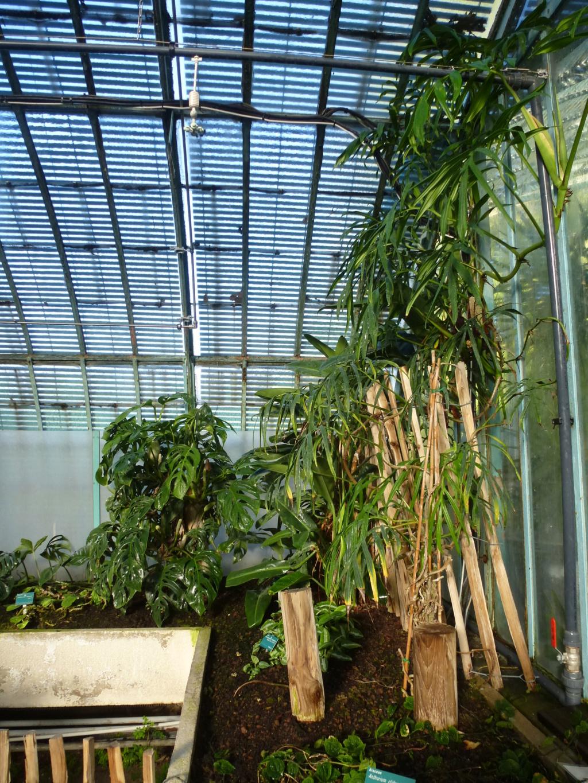 Voila l'évolution de la serre d'Araceae  P1280813
