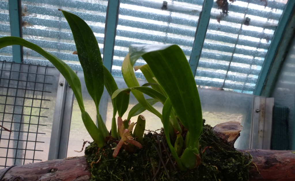 Maxillaria rufescens  P1290225