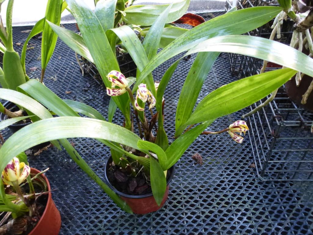 Maxillaria picta  P1290227